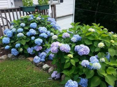 My lovely blue hydrangeas